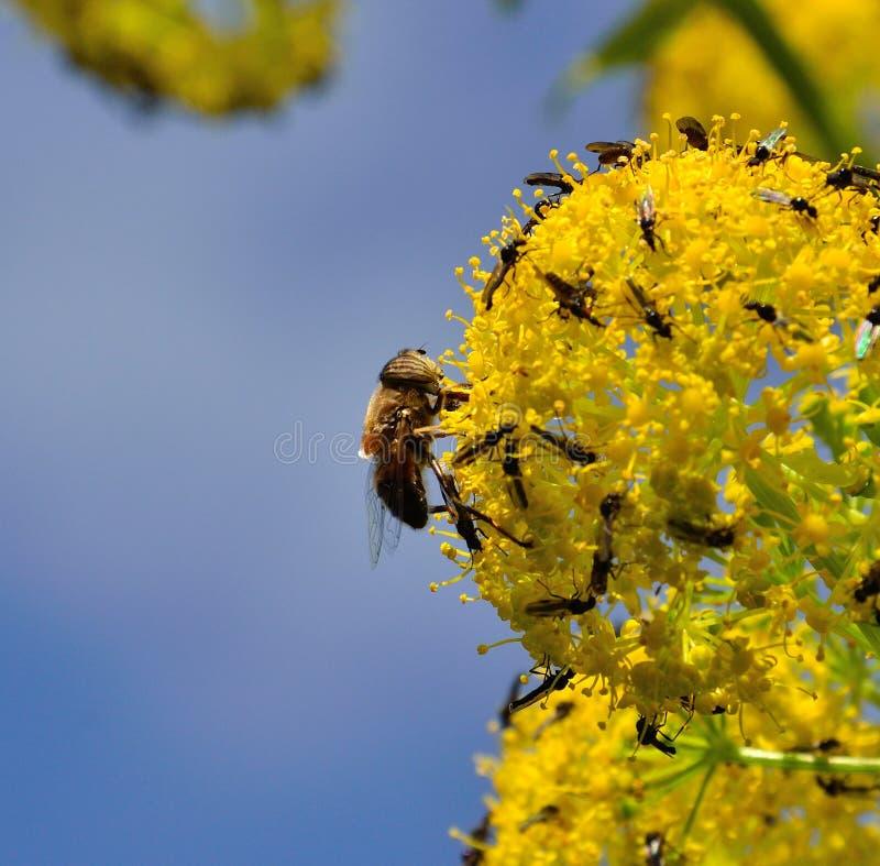 Ape e piccole mosche sui fiori di finocchio immagine stock