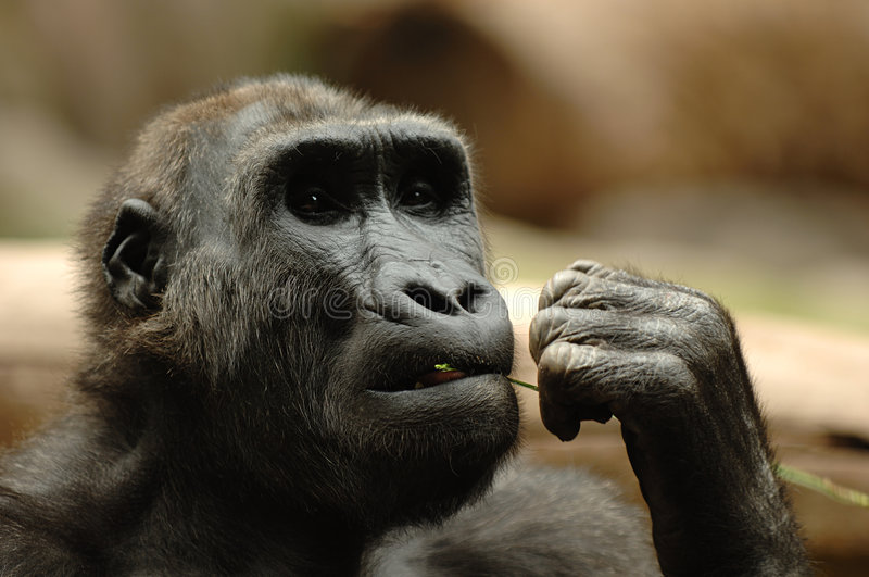 Ape eating grass royalty free stock images