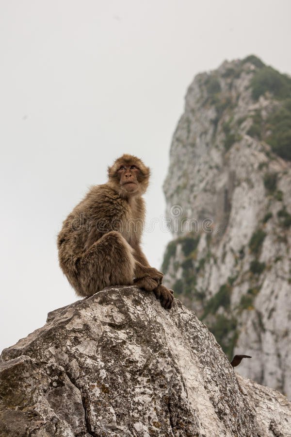 Download Ape of Gibraltar stock photo. Image of england, gibraltar - 27527062