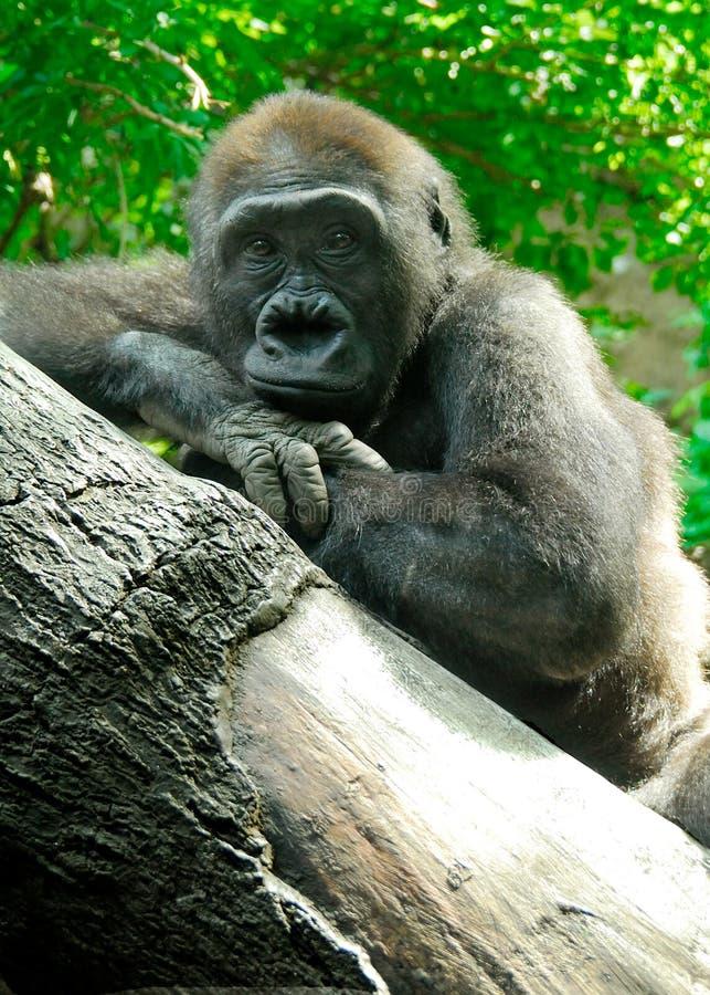 An Ape-like Pose royalty free stock photography