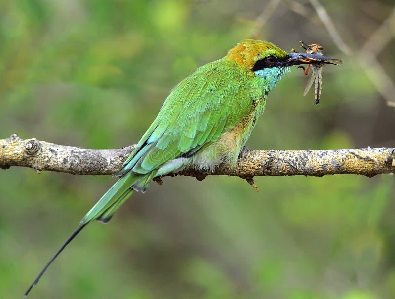 Ape-mangiatore che mangia insetto sul ramo Poco bee-eater verde immagini stock libere da diritti