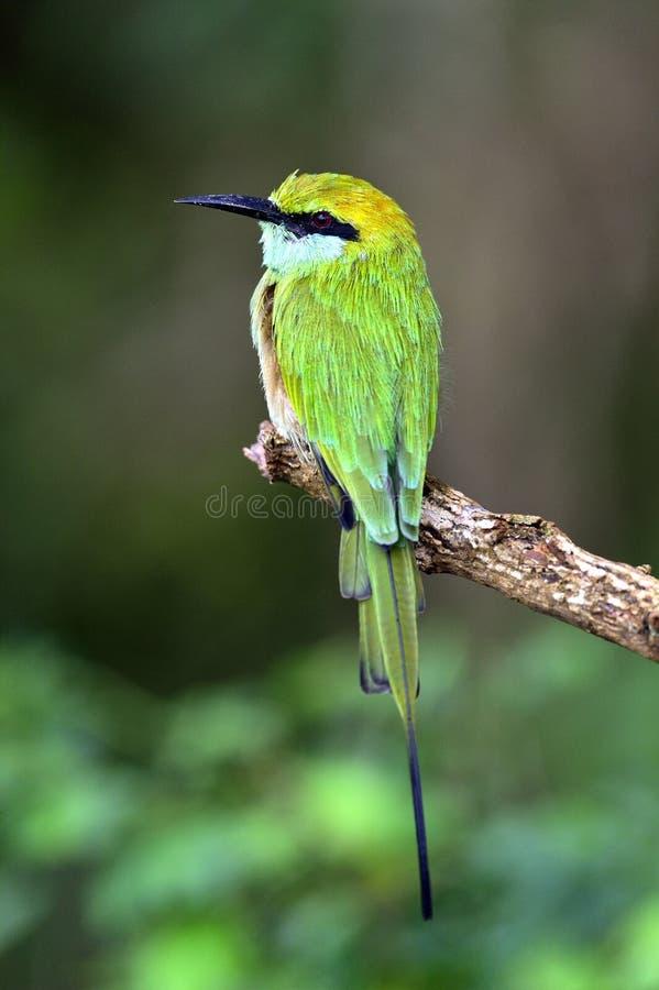 Ape-mangiatore sul ramo Poco bee-eater verde fotografie stock libere da diritti