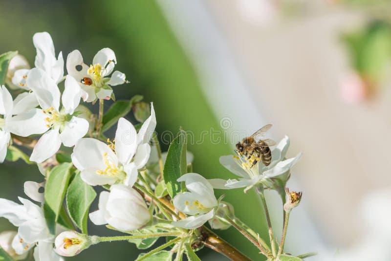 Ape melliferous sul fiore di di melo fotografia stock