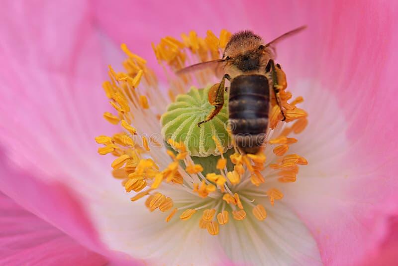 Ape mellifica in antere gialle Poppy Flower 05 immagine stock