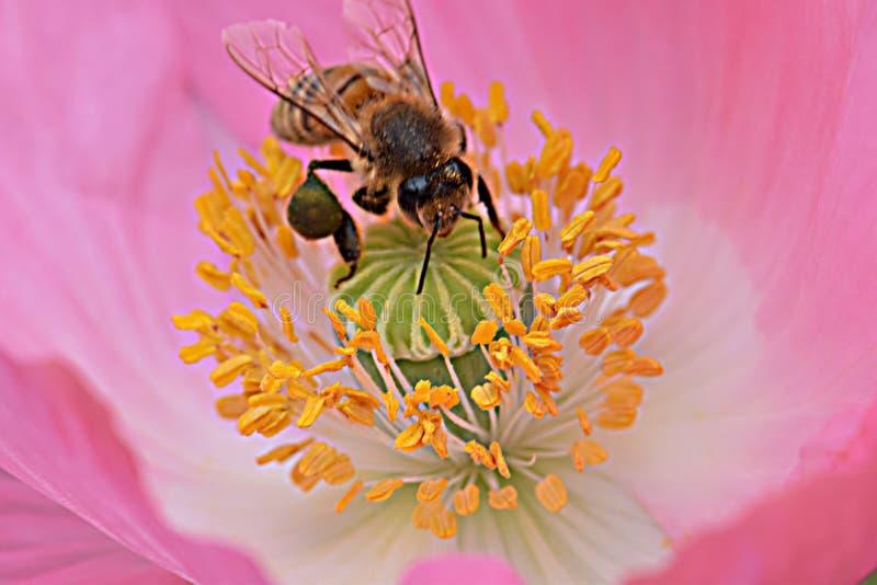 Ape mellifica in antere gialle Poppy Flower 06 immagini stock