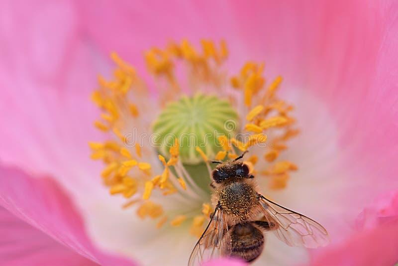 Ape mellifica in antere gialle Poppy Flower 07 immagine stock