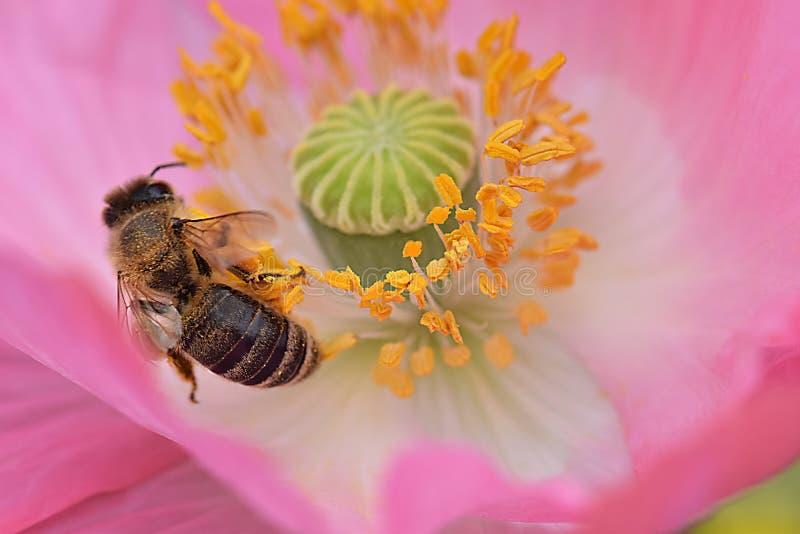 Ape mellifica in antere gialle Poppy Flower 11 immagine stock
