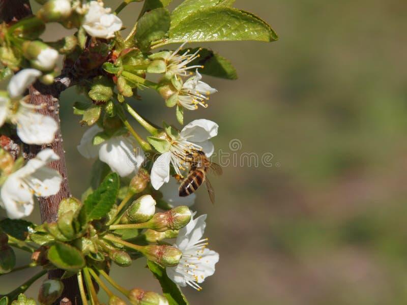Ape mellifica sul fiore di ciliegia immagine stock libera da diritti