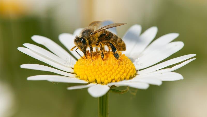Ape o ape mellifica sul fiore bianco della margherita comune fotografia stock libera da diritti