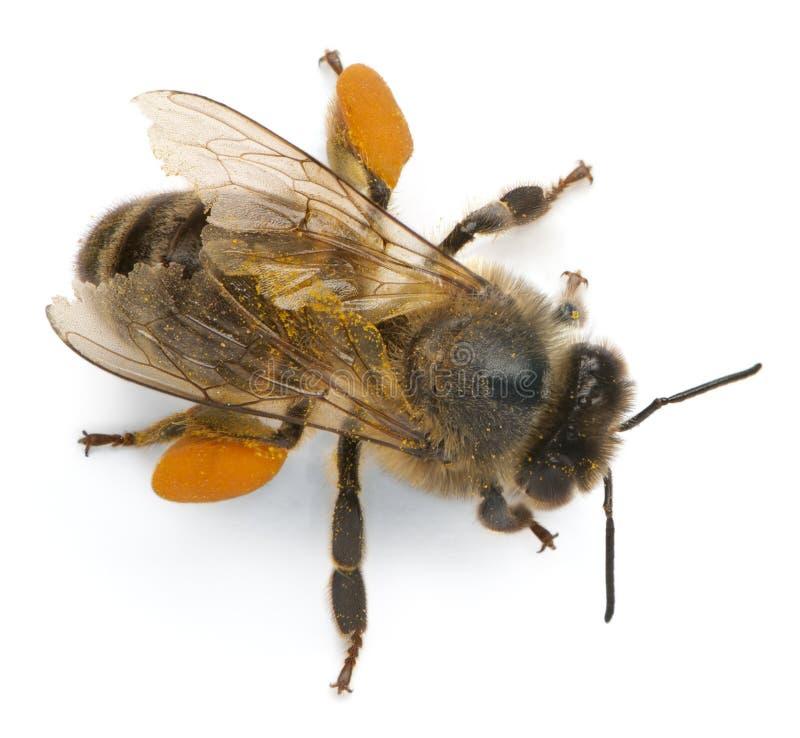 Ape occidentale del miele o ape europeo del miele, api fotografia stock libera da diritti