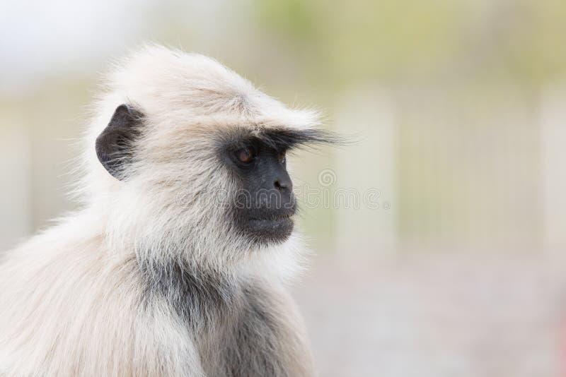 Ape portrait. Portrait of a single white ape in india stock photo