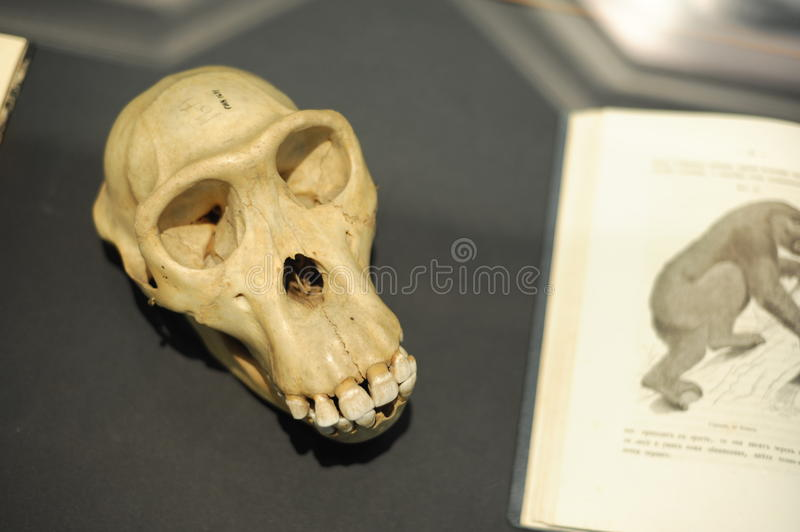Ape scull at museum royalty free stock photography