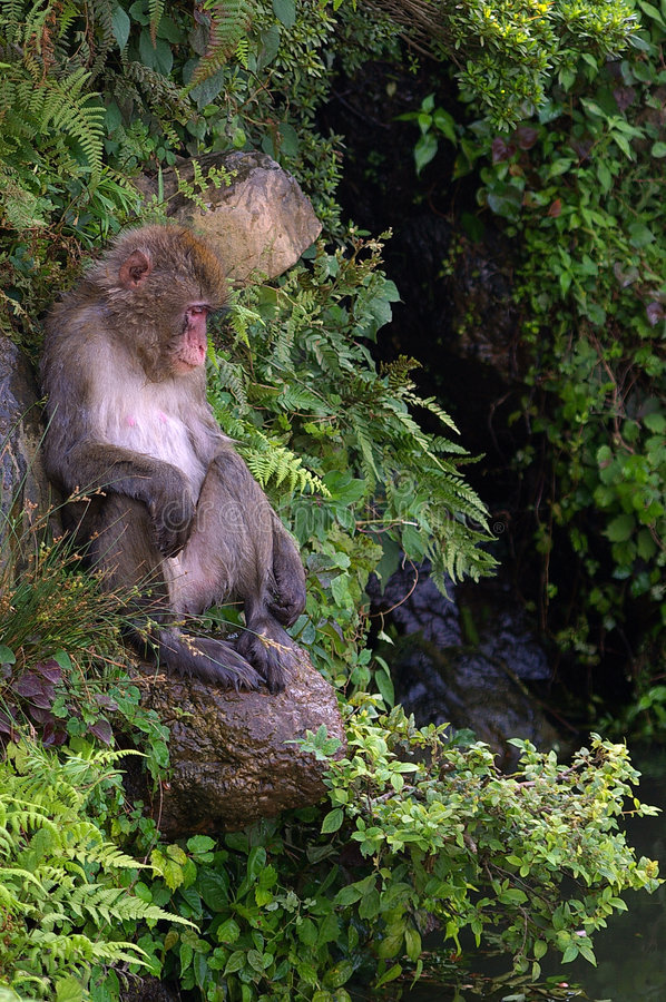 Free Ape Sitting On A Rock Stock Photography - 212772