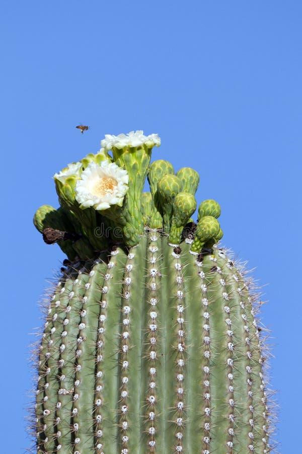 Ape sopra i fiori del saguaro fotografie stock libere da diritti
