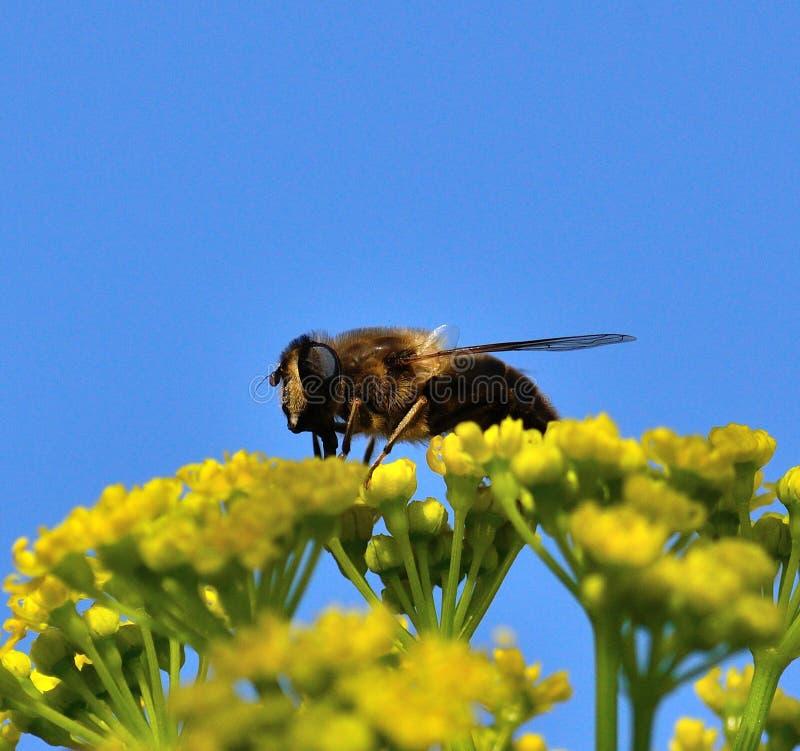 Ape sopra i fiori selvaggi del finocchio fotografia stock