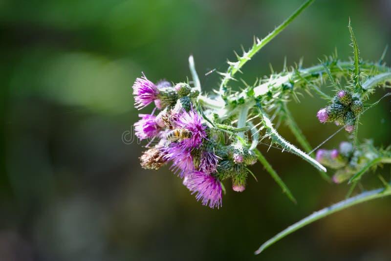 Ape su un cardo selvatico di fioritura immagini stock libere da diritti