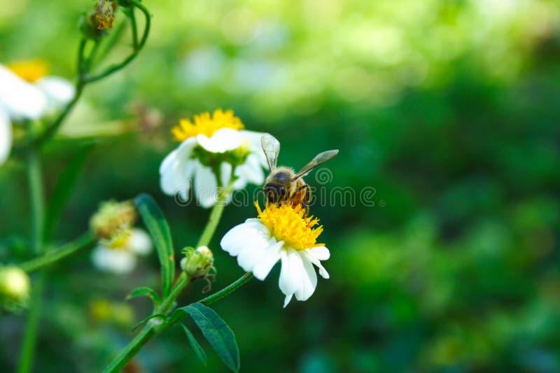Ape su un fiore immagini stock