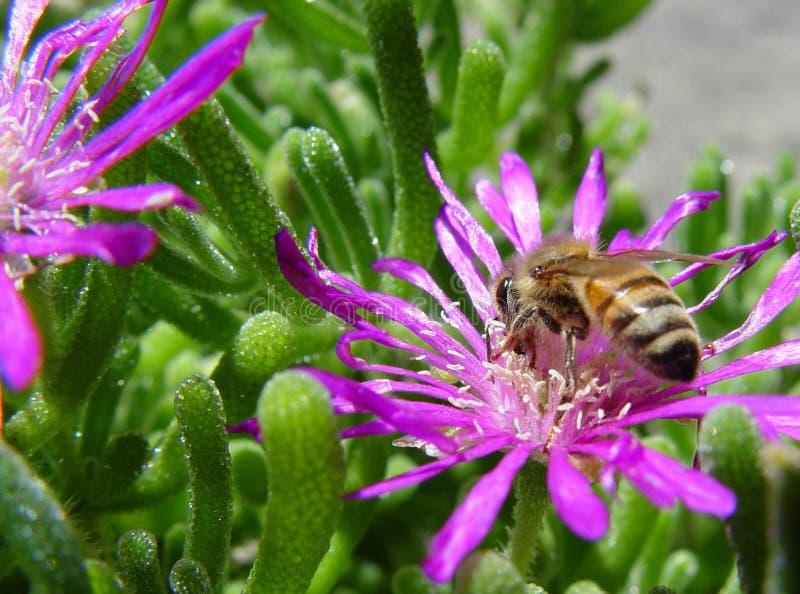 Ape su un fiore fotografia stock libera da diritti