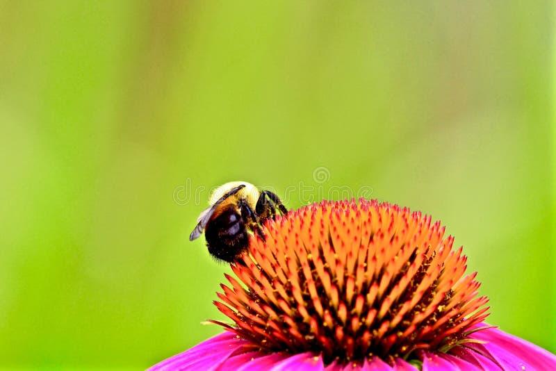 Ape su un fiore fotografie stock