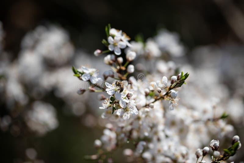Ape su un fiore bianco della ciliegia immagini stock libere da diritti