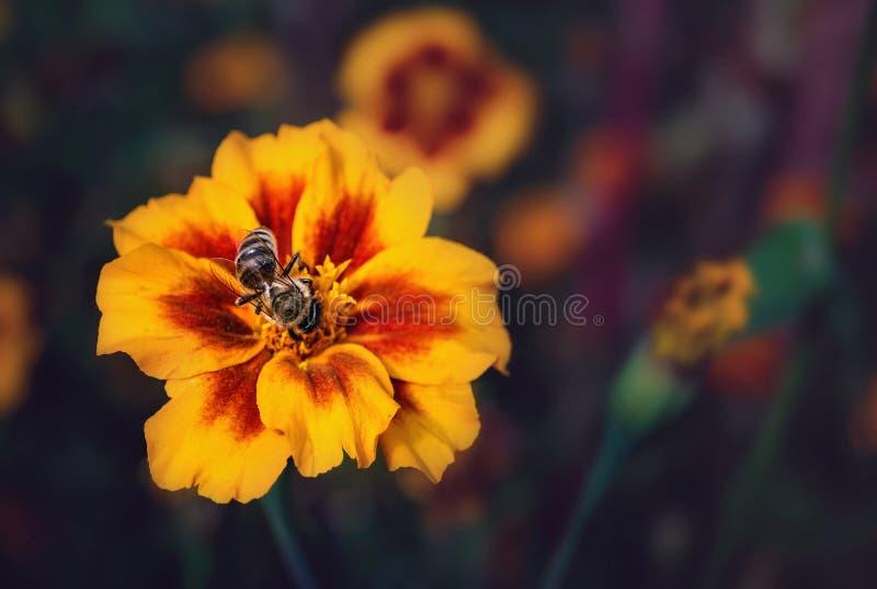 Ape su un fiore del tagete fotografie stock
