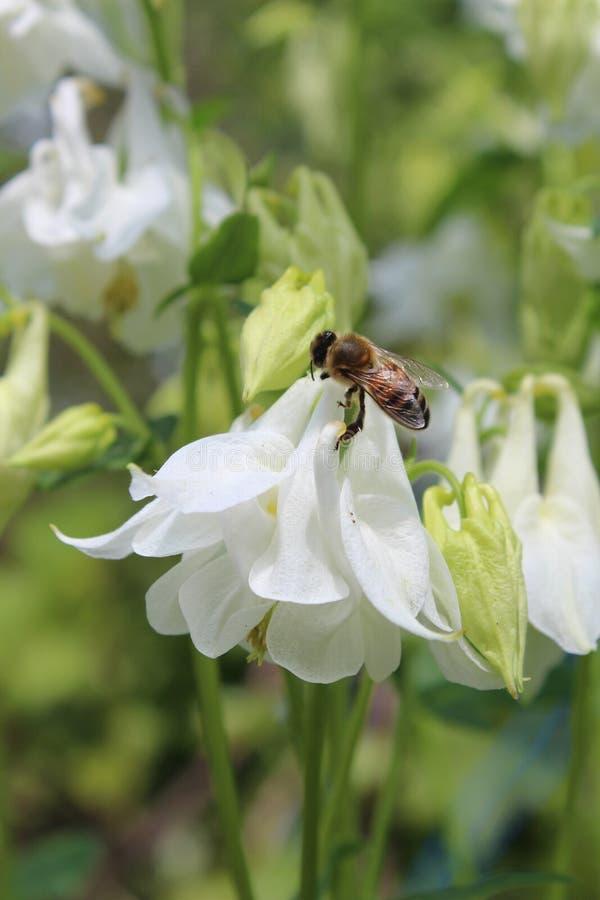 Ape su un fiore Fiori bianchi davanti alla casa fotografie stock