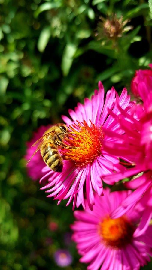 Ape su un fiore rosa fotografie stock