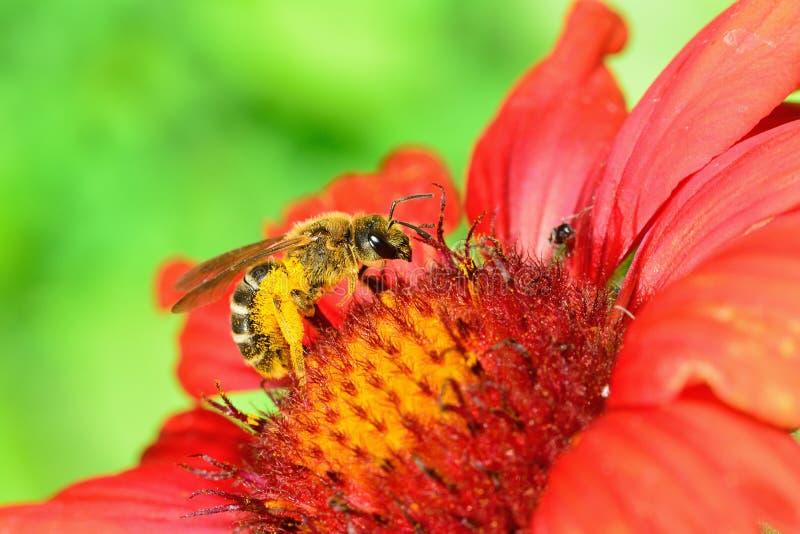 Ape su un fiore rosso. immagine stock