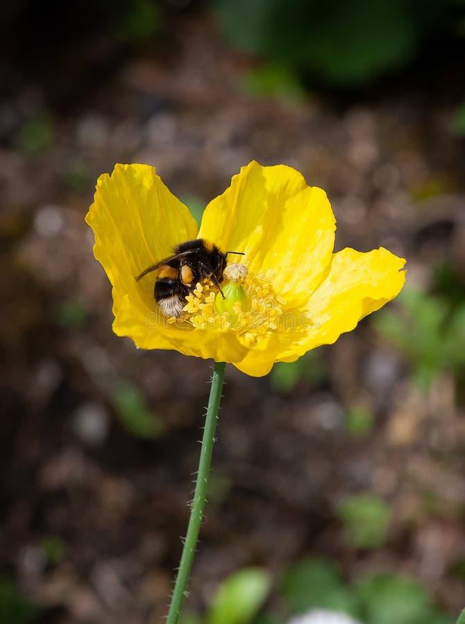 Download Ape Su Un Papavero Di Lingua Gallese Giallo Fotografia Stock - Immagine di fiore, insetto: 117975336