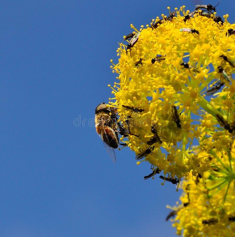 Ape sui fiori di finocchio coperti di piccole mosche immagini stock