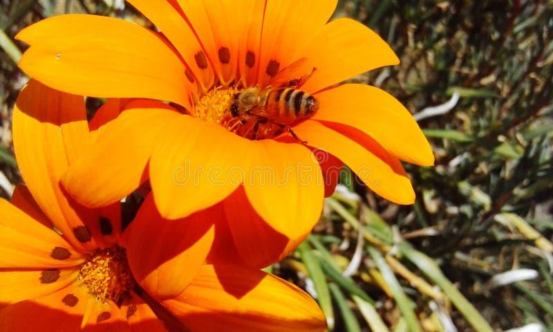 Ape sul fiore arancione immagini stock libere da diritti
