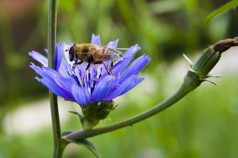 Ape sul fiore blu fotografia stock libera da diritti