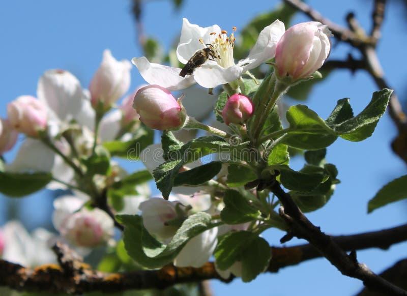 Ape sul fiore della mela immagine stock