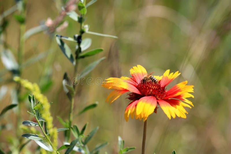 Ape sul fiore di estate fotografie stock libere da diritti