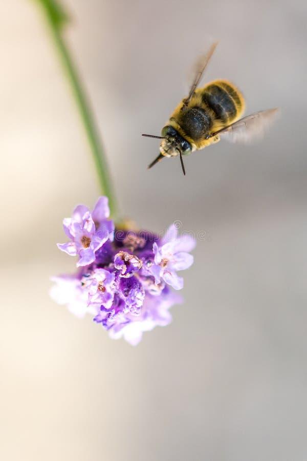 Ape sul fiore Il piccolo insetto utile è lavorante e producente il miele Ape mellifica con l'ala sul fiore Primavera alla campagn immagini stock libere da diritti