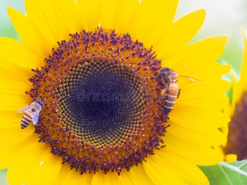 Ape sul girasole, girasole con luce solare, sfondo naturale del girasole Fioritura del girasole fotografie stock