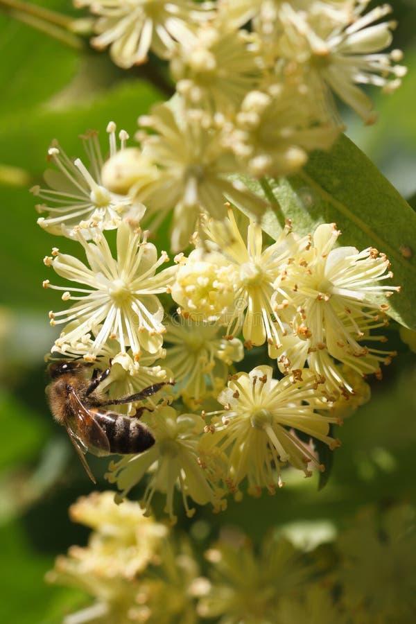 Ape sul verticale del primo piano del tiglio dei fiori fotografie stock libere da diritti