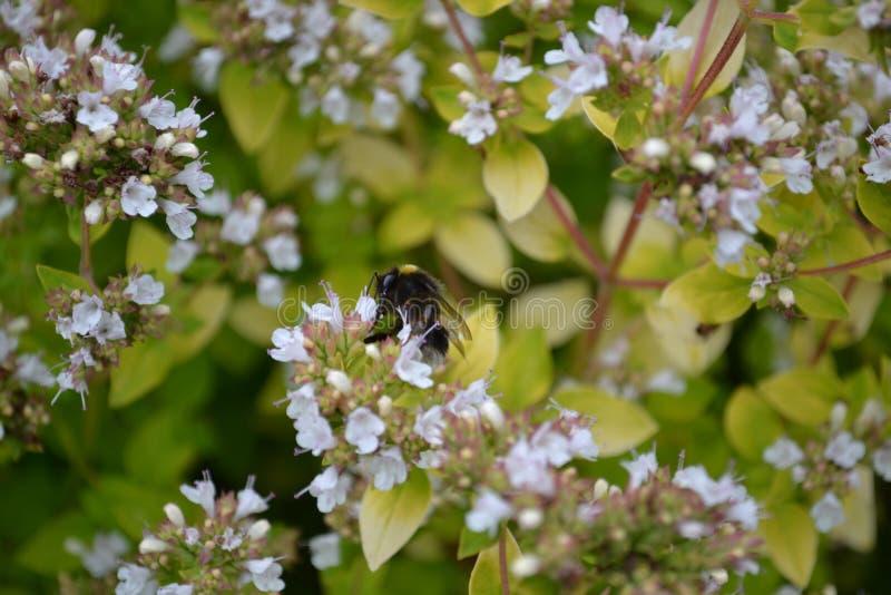 Ape sull'alimentarsi i piccoli fiori immagini stock libere da diritti