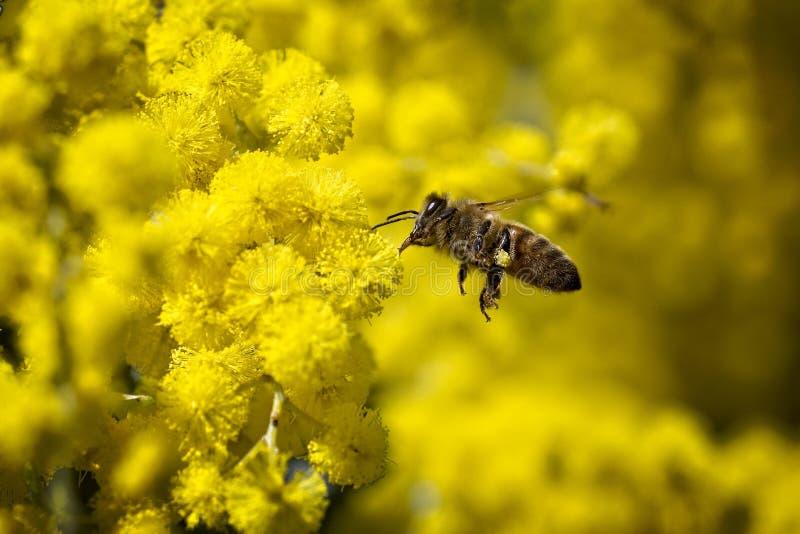 Ape volante che raccoglie polline dai fiori gialli immagini stock libere da diritti