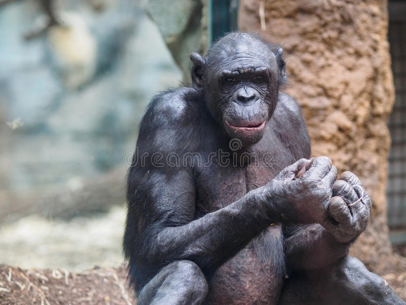 Ape in zoo stock photos