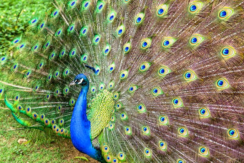 apeacock的多只尾羽的眼睛 库存照片