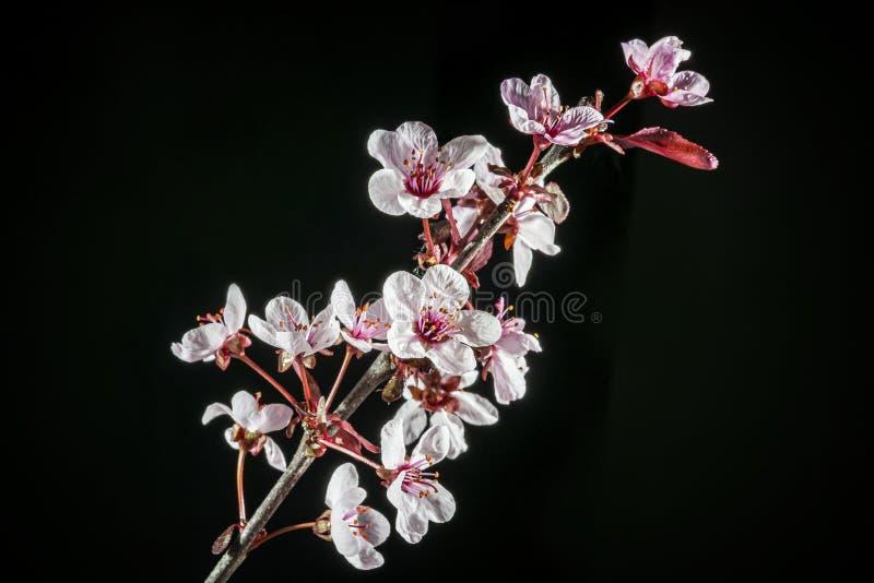 Apelo decorativo das flores da árvore de maçã foto de stock royalty free