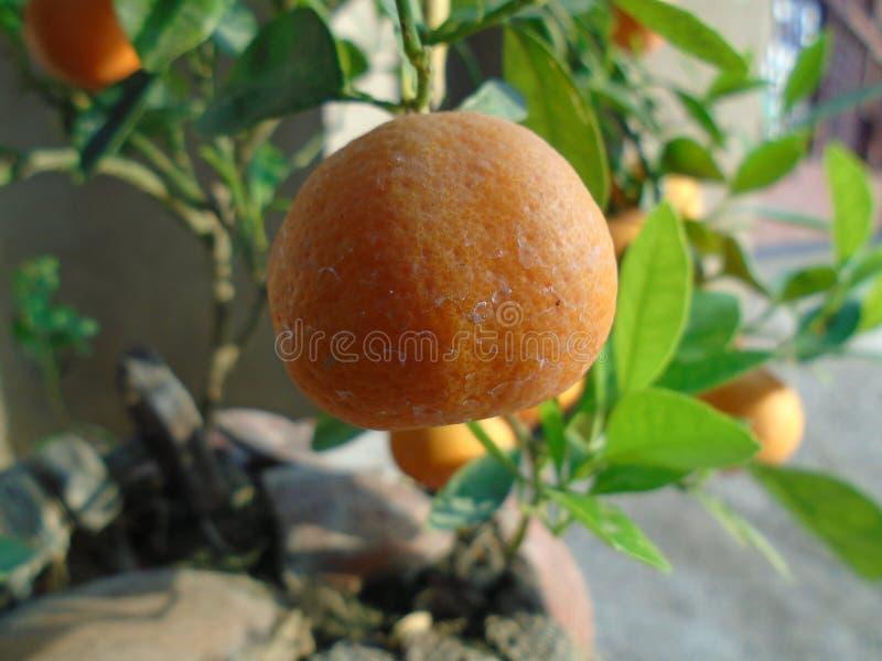 Apelsin arkivbilder