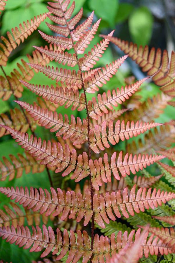 Apelsin, Autumn Ferns och gröna ormbunkar som en naturbakgrund fotografering för bildbyråer