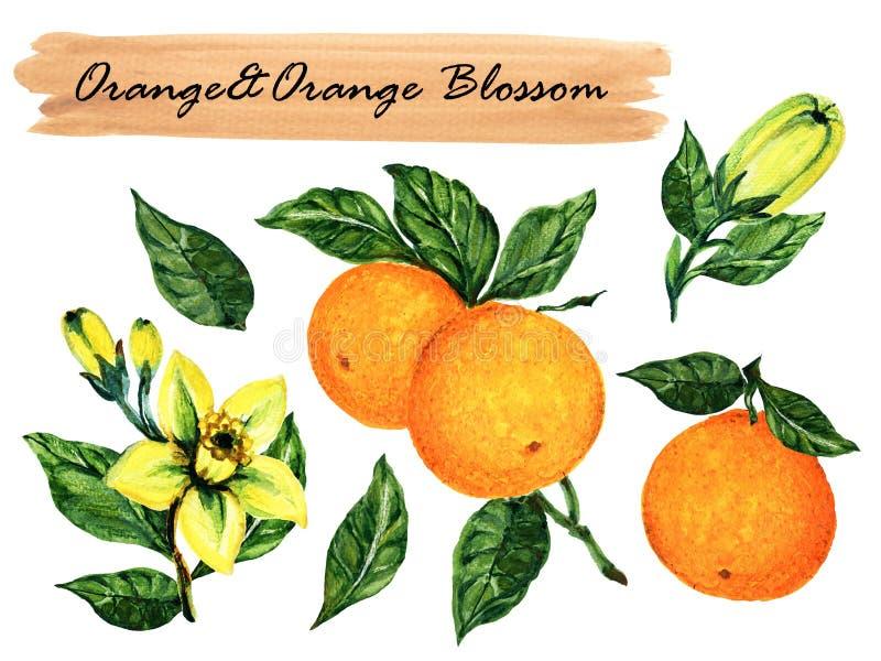Apelsin för samling för vattenfärgsommar sund och orange blomning med filiallövverk isolerat på botanisk vit bakgrund vektor illustrationer