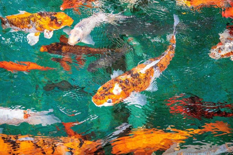 Apelsin f?r mycket utsmyckad karp- eller skit- eller Koi fisk eller guld- f?rg som simmar i dammet som vattenv?g royaltyfri foto