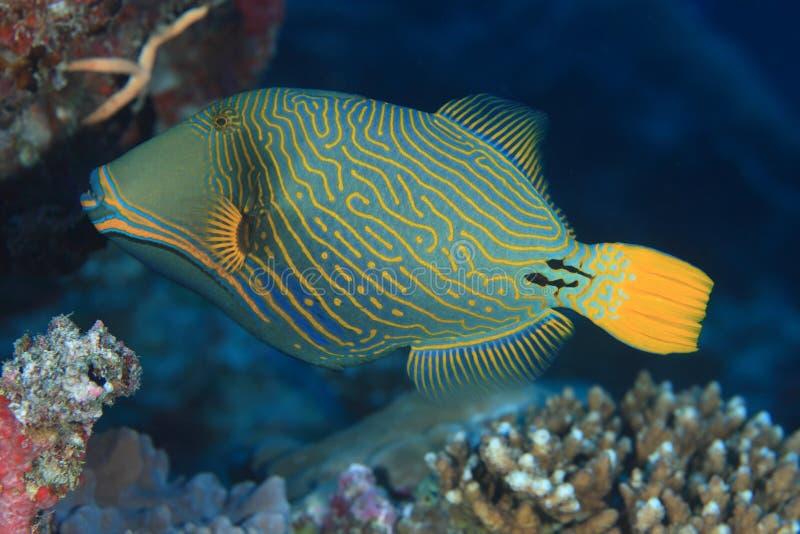 Apelsin-görad randig triggerfish arkivfoto