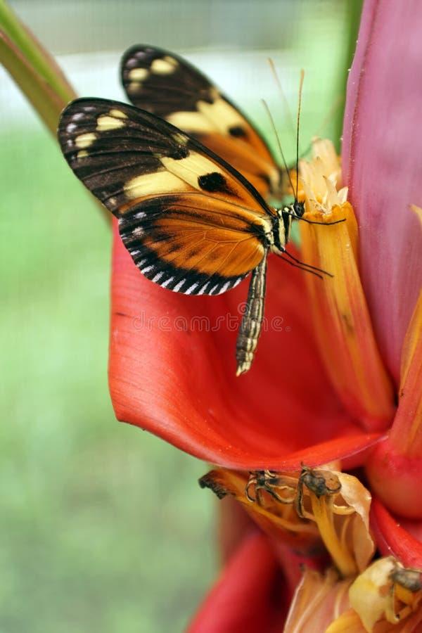 Apelsin- och svartfjärilar i Mindo, Ecuador fotografering för bildbyråer
