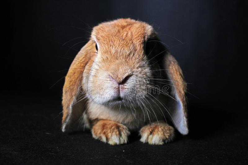 Apelsinen beskär den dvärg- mini- kaninen för kanin på svart bakgrund Gulligt beskär arkivbilder