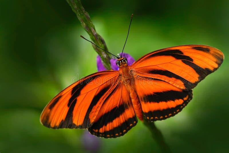 Apelsinen bommade för tigern, den Dryadula phaetusaen, fjäril i naturlivsmiljö Trevligt kryp från Mexico Fjäril i den gröna skogb royaltyfria bilder